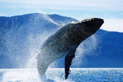 ballena-jorobada04